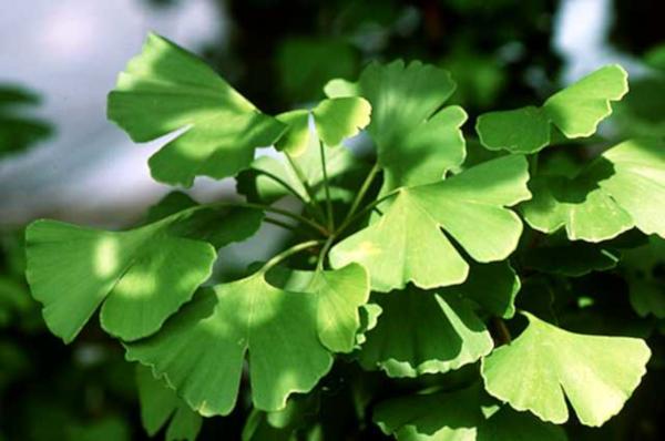 Ginkgo biloba leaf nootropic