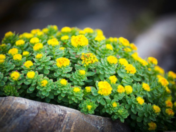 Achieve ingredients rhodiola rosea
