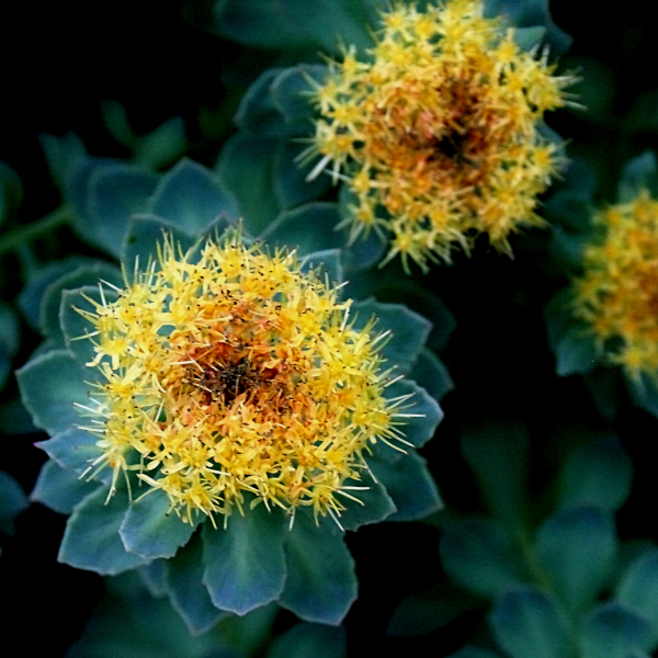 Rhodiola rosea benefits