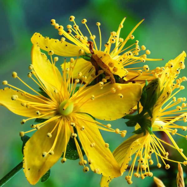 St. John's Wort flower